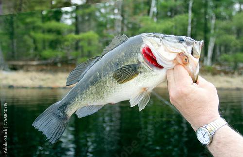 Fotografie, Obraz  Largemouth Bass Closeup