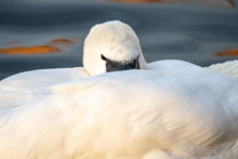 Mute Swan (Cygnus Olor) With Head Tucked Into Feathers