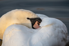 Mute Swan (Cygnus Olor) With Head Tucked Into Chest
