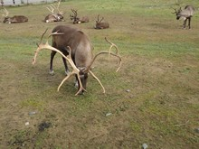 Reindeer Caribou Grazing In A ...