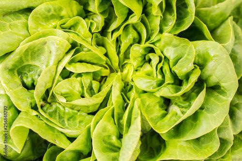 Close up of green crispy Lettuce, full frame Salanoca Descartes lettuce Wallpaper Mural