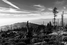 Devasted Forest In Caues Of Bark Beetle Infestation. Sumava National Park And Bavarian Forest, Czech Republic And Germany. View From Tristolicnik, Dreisesselberg