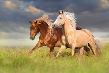 Fototapeta Koń Red and palomino horse with long blond mane in motion on field