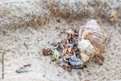 Fotografie, Tablou The group of colorful hermit crabs with shell on the sandy beach in the sunny day
