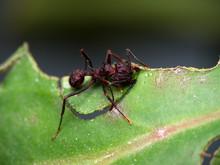 Red Ant Cutting A Leaf (macro)...