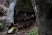 An Adult Formosa Black Bear Sl...