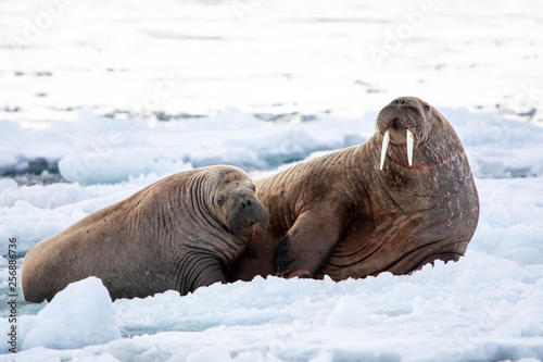 Mother and Calf Walrus