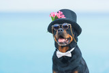 Black dog of breed a Rottweiler. Dog in a black hat and glasses on the background of the sea. Hat decorated with pink flowers. Pet. - 256887978