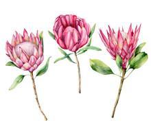 Watercolor Three Protea Set. H...