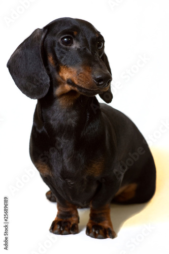 Foto op Aluminium Crazy dog Dachshund black sits staring intently at the white