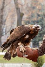 Eagle Sits On Hand, Bird Of Prey