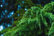 Coniferous Tree. Ornamental Plant. Twigs Of Coniferous Plants With Small Green Needles. Green Juniper Tree.