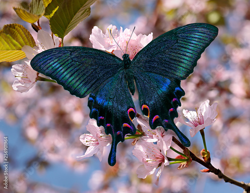 Fotografía Black swallowtail or papilio maackii butterfly on oriental cherry blossom