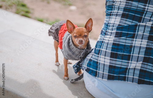 Keuken foto achterwand Crazy dog Chihuahua in sweater at dog park