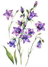 Watercolor Bluebell Botanical Illustration Set