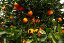 Citrus Groves Featuring Oranges And Green Leaves