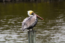 Solitary Pelican Resting On A Dock Pylon In The Banana River Near Cocoa Beach, Florida