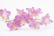 Purple Orchid Family Orchidaceae On White Background.