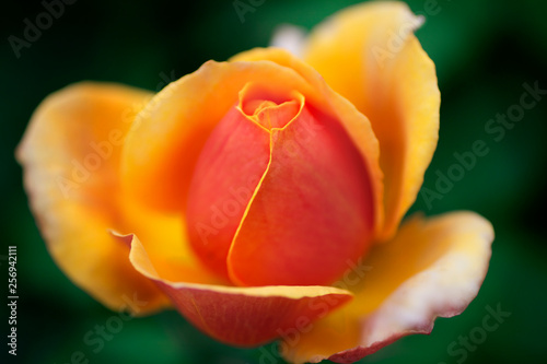 Photo  A warm gradient colored newly blooming rose in the garden with bokeh