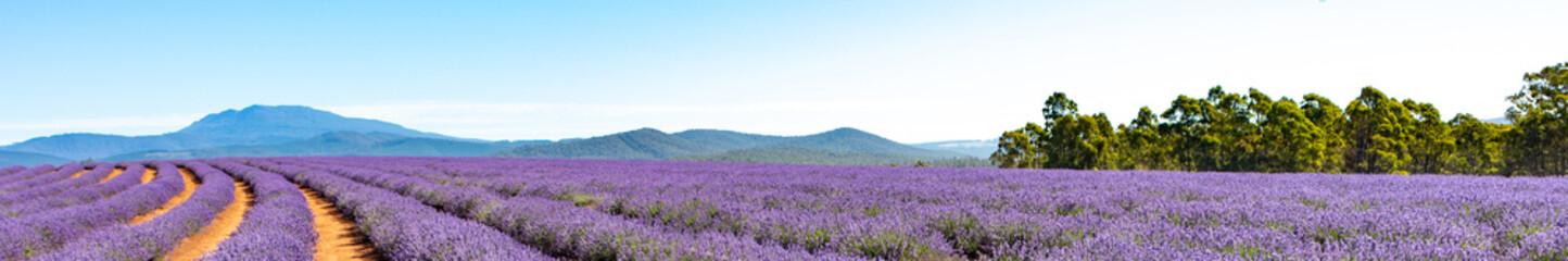 Panel Szklany Łąka Lavender Farm Tasmania Australia Landscape