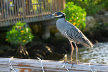 A Yellow-crowned Night Heron (Nyctanassa Violacea) Sitting On A Wood Railing On The Riverwalk At Flagler Park In Downtown Stuart, Florida, USA