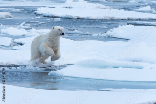 Poster Turquoise POlar Bear jumping a gap in the sea ice
