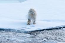 Polar Bear Shaking Off Water A...