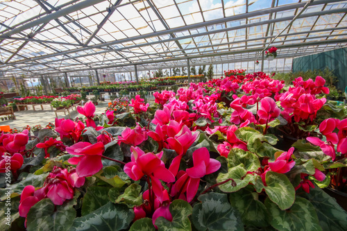Cyclamen flower in garden, green house. Izmir / Turkey