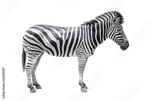 Poster de jardin Zebra Zebra on white background isolated with clipping path.