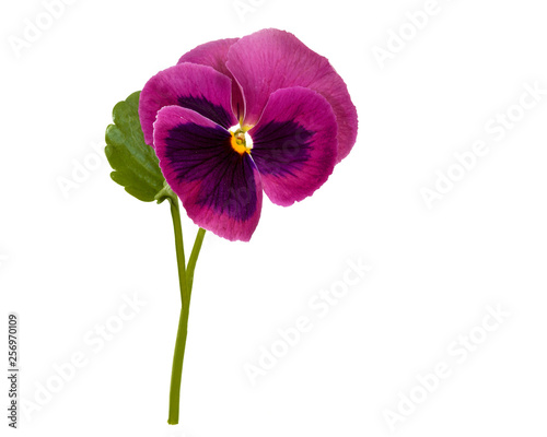 Papiers peints Pansies beautiful pansy flowers isolated on white background