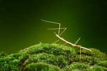 Stick Insect Or Phasmids (Phasmatodea Or Phasmatoptera) Also Known As Walking Stick Insects, Stick-bugs, Bug Sticks Or Ghost Insect. Stick Insect Camouflaged On Green Moss. Selective Focus, Copy Space