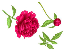 Vector Red Peony Floral Botani...