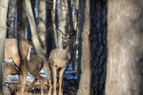 Spoed Fotobehang Ree White-tailed Deer, natural scene , hint in the winter forest