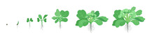Crop Stages Of Broccoli Cabbage. Growing Broccoli Plant. Harvest Growth Vegetable. Brassica Oleracea. Vector Flat Illustration.