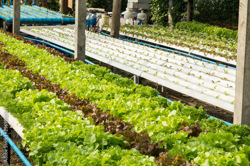 The hydroponics vegetable farm , Fresh salad lettuce in Organic farm