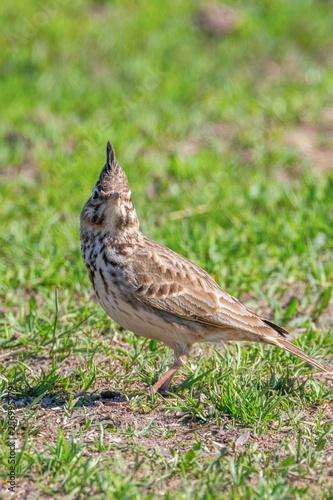 Fotografie, Obraz Funny little bird, Crested lark on ground (Galerida cristata) Wildlife Close up