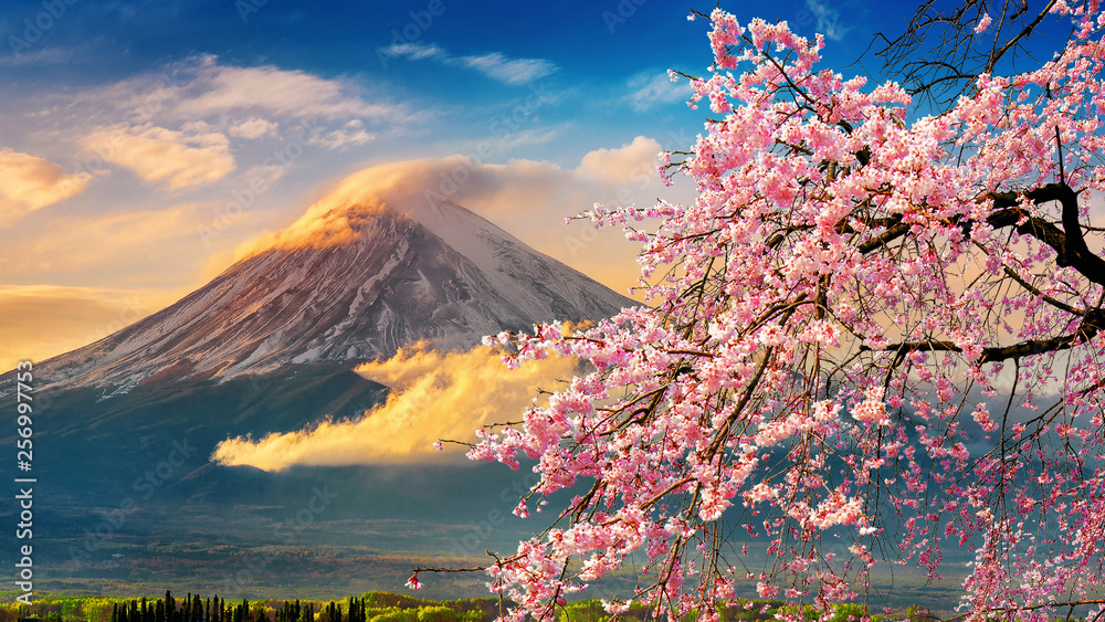Fototapeta Fuji mountain and cherry blossoms in spring, Japan.