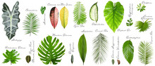 Set Of Different Tropical Leav...