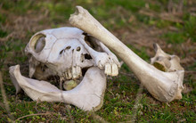 The Bones Of The Animal Lie In Nature