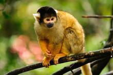 Scimmia A Monkeyland, Plattenberg Bay