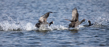 Red Knobbed Coots Fighting On ...