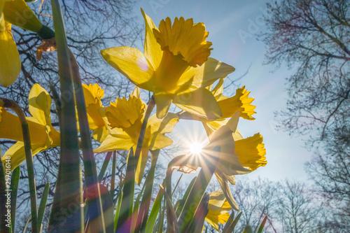 Vászonkép yellow daffodil in the spring sunbeam
