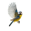 canvas print picture - Blaumeise Singvogel im Flug, freigestellt