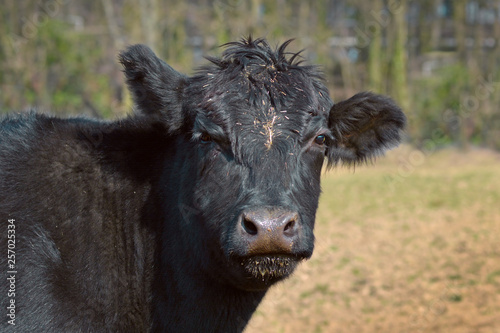 фотография  Close up of a black Aberdeen Angus cattle animal head