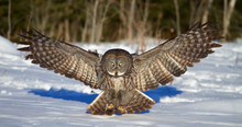 Great Grey Owl With Wings Spread Out Prepares To Pounce On Prey In Winter In Canada