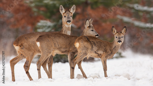 Roe deer, capreolus capreolus, herd in deep snow in winter. Group of wild animal in freezing environment. Cold wildlife scenery.