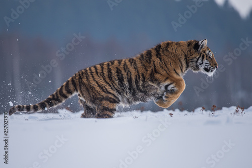 Keuken foto achterwand Tijger Siberian Tiger running in snow. Beautiful, dynamic and powerful photo of this majestic animal. Set in environment typical for this amazing animal. Birches and meadows