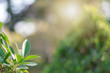The green leaves with the most beautiful of the blurred background are presented in the morning. It very comfortable and peace when we see. In addition, the green leaves help us to relax and fresh.