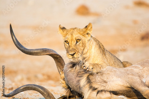 Fotografie, Obraz  Female lion with a Kudu kill in the morning light in Savuti, Chobe, Botswana, Africa