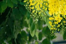 Cassia Fistula Or Golden Showe...